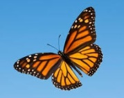 Monarch-butterfly1